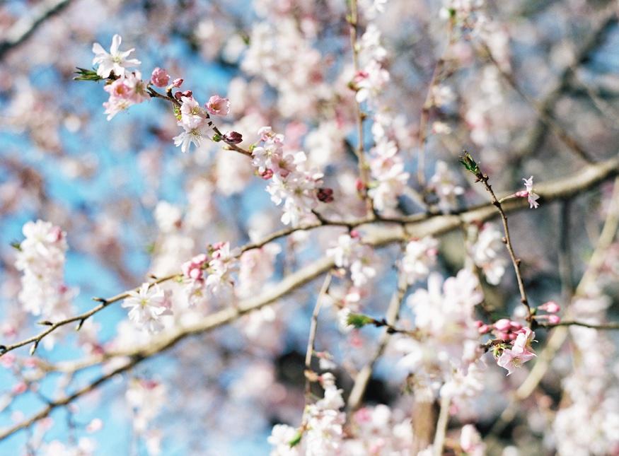 Spring Brooklyn Botanic Garden wedding cherry blossoms