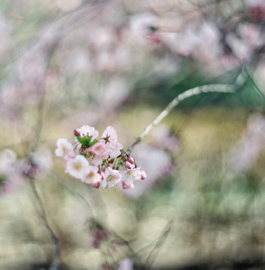 Cherry Blossoms at Brooklyn Botanic Garden wedding.